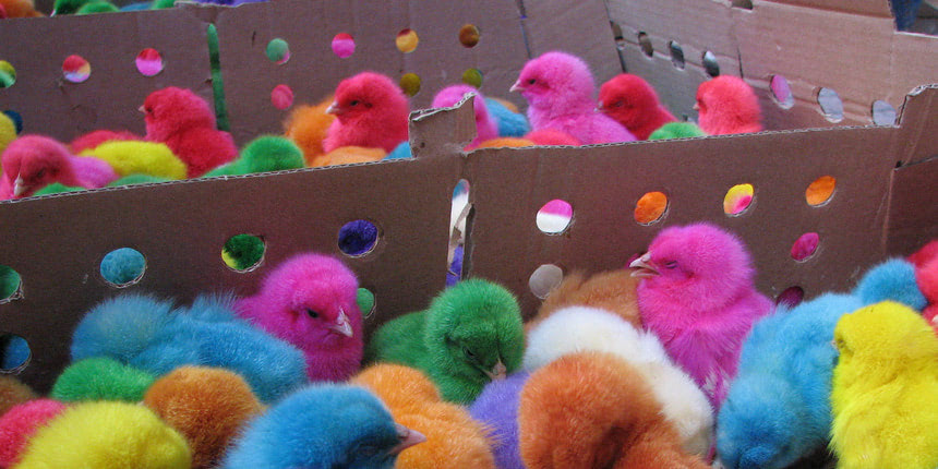 Dyed chicks are the ultimate in disposable life: who wants them after they've turned into a regular chicken?