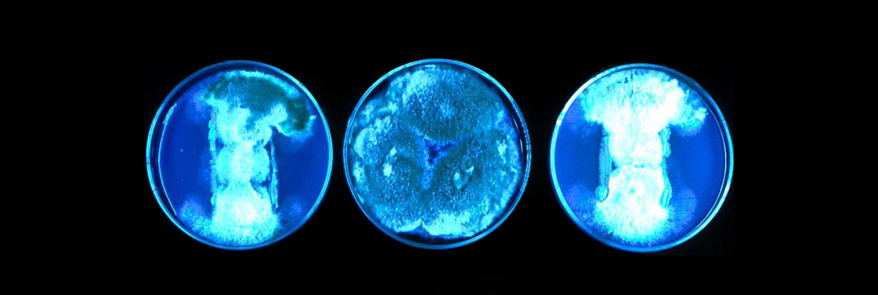 Bioluminescent bacteria light up these petri dishes